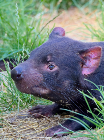 tasmanian devil in australia looking very docile photo