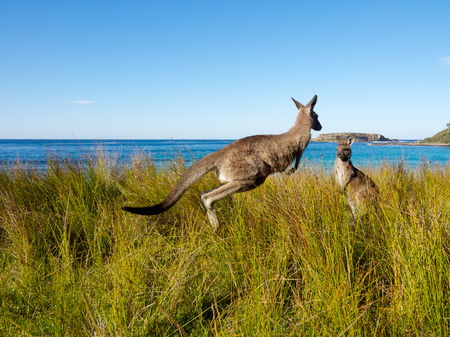 kangaroo jumping through grass at the beach