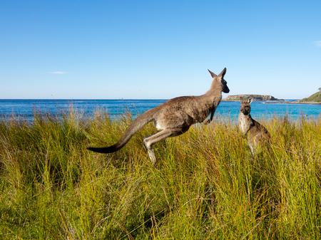 kangaroo jumping through grass at the beach