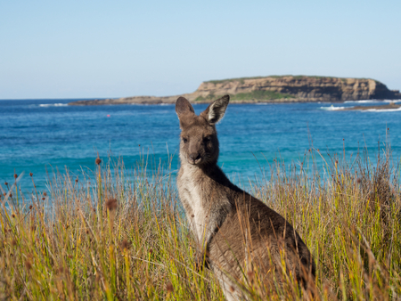 portrait of at kangaroo at batemans bay beach Stock Photo