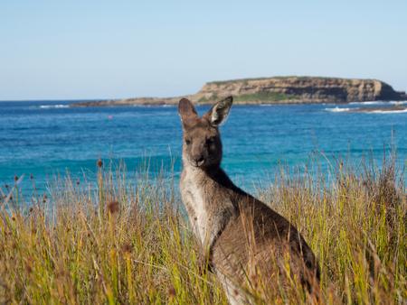 portrait of at kangaroo at batemans bay beach Stock Photo