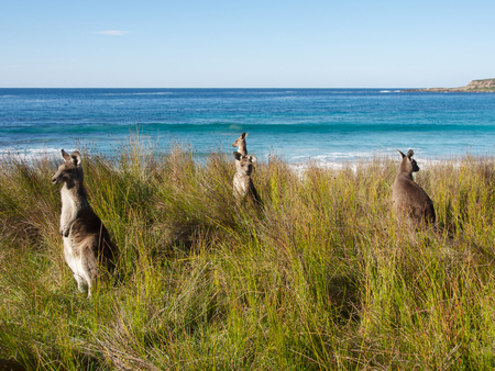 kangaroos at the beach Stock Photo