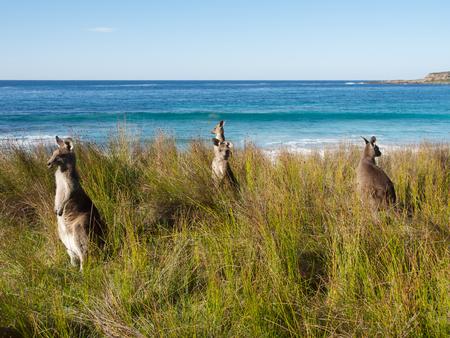 kangaroos at the beach Stock Photo