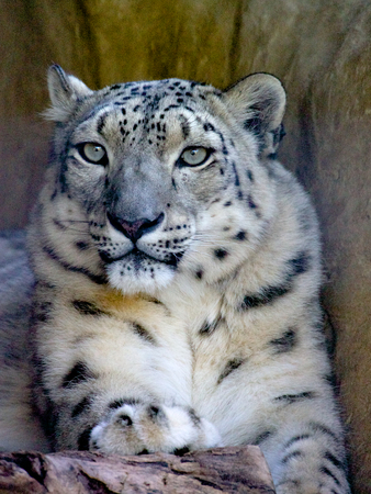 snow leopard: snow leopard having a rest in an australian zoo