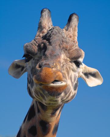 quizzical: jirafa en el zool�gico mirando bastante burlona