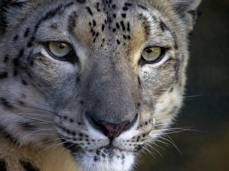 closeup of an intense looking snow leopard Stock Photo