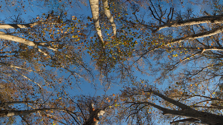 tree canopy: panorama of tree canopy in melbourne on an autumn day