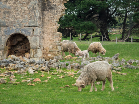 New lambs and sheep grazing around a old farmhouse on a farm in Victoria Australia Stock Photo