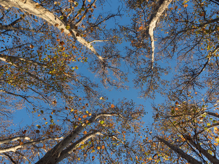 looking upwards towards a tree canopy with a bright blue sky in melbourne Stock Photo