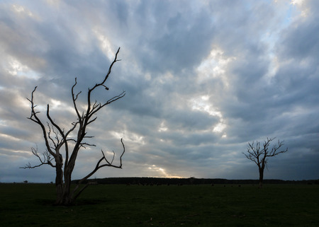 Silhouette of a dead tree in rural Victoria Australia with a cloudy sky on a Winters day