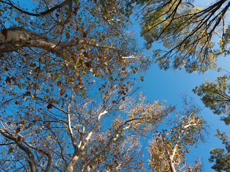looking upwards towards a tree canopy with a bright blue sky Stock Photo