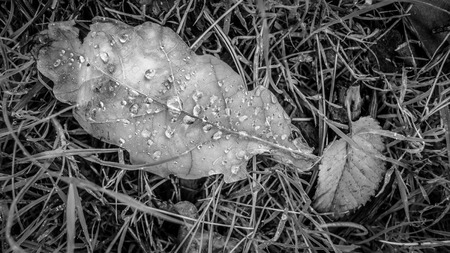 black and white leaf with water drops on grass on a cold melbourne winter day