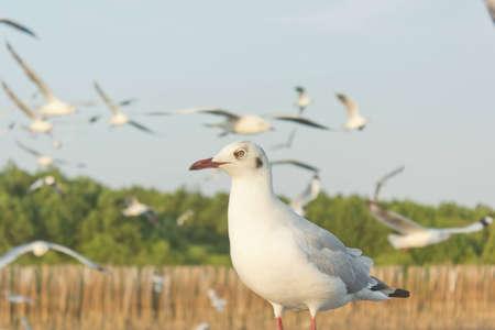 Seagull on Bangpu beach in thailand