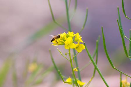 Honeybee collecting honey