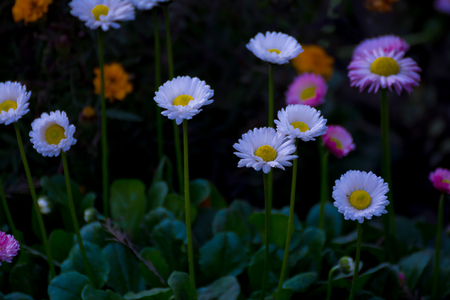 Beautiful Mixed White and Pink Color Daisy Long Stem Flowers