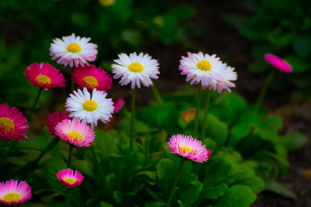 Beautiful pink and white Daisy flower