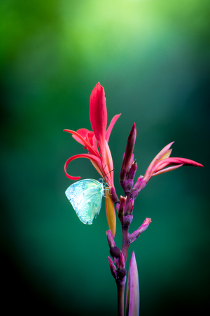 Butterfly on Red Canna Flower