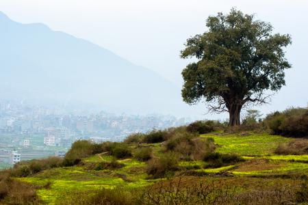 gelbes Senffeld und ein Ficus religiosa-Baum