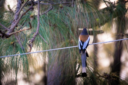 Long tail bird on electric wire