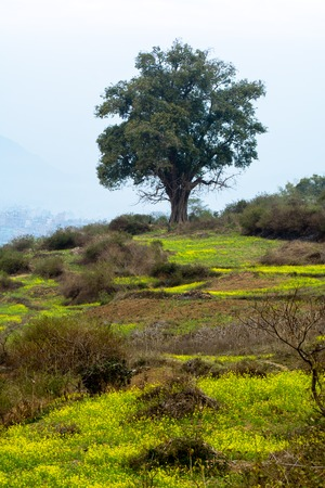 yellow mustard field and a Ficus religiosa tree