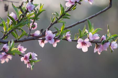 Close of cherry blossom Stockfoto