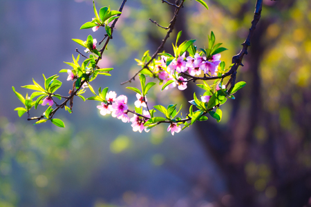 Close up branch of cheery blossom
