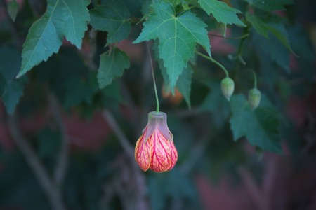 Red flower bud on leaf of abutilon hybrid close-up selective focus