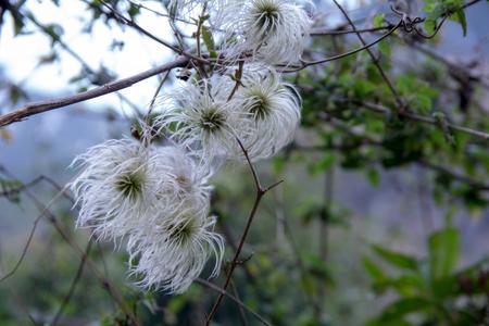 Beautiful white wild grass feathery flower