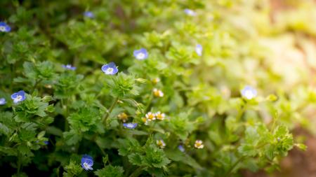 Morning blue flower on green grass field