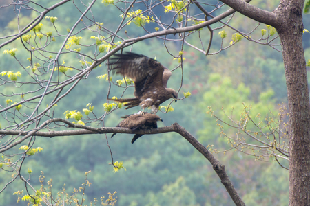 Two eagle in love on the tree in nature Stockfoto