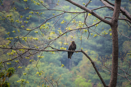 SaveDownload PreviewSteppe eagle proudly perched on a branch