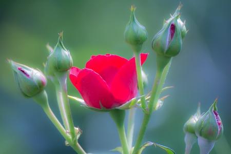 Red rose Stockfoto