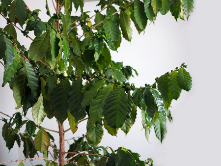 Green coffee beans on stem. Stock Photo - 92550241