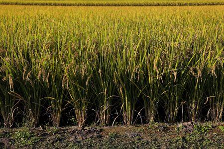 Fruitful rice field, paddy field