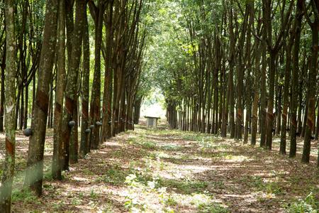 deepness: rubber plantations.