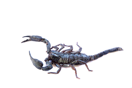 crawly: scorpion on  white  background