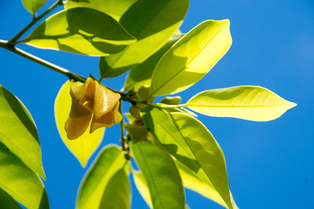 odorous: ylang - ylang Stock Photo
