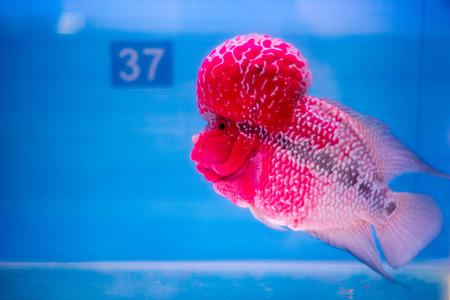 peacock cichlid: Cichlids Stock Photo