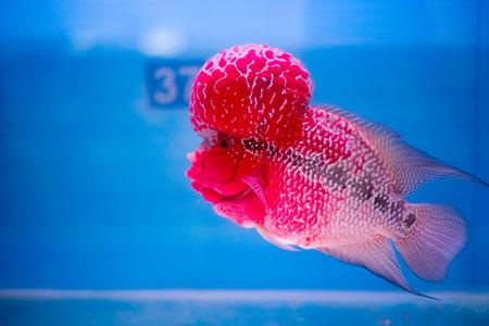ichthyology: Cichlids Stock Photo