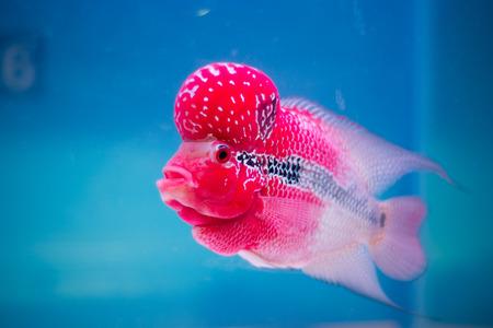Cichlids Stock Photo