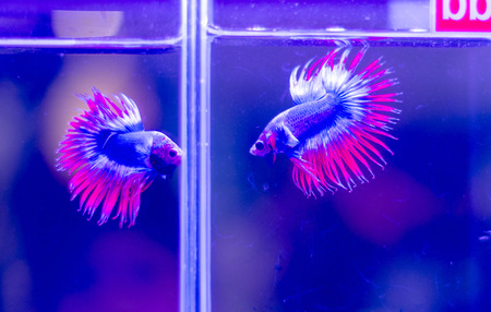 crowd tail: fighting  fish