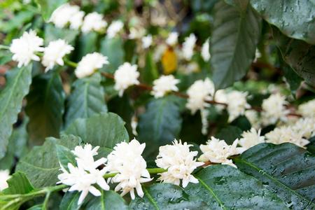 Flowers  coffee plantations