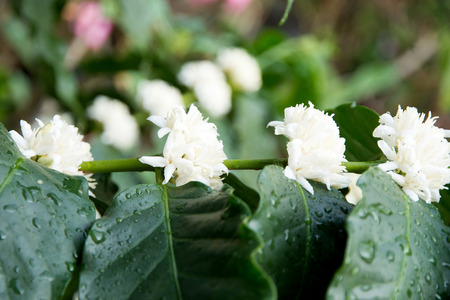 loc: Flowers  coffee plantations