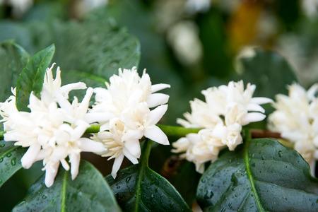 dalat: Coffee flowers bloom in the garden