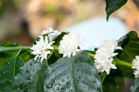 loc: coffee  flower Stock Photo