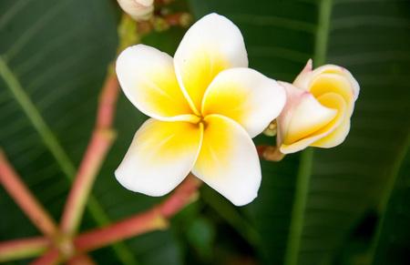 subtropical: plumeria