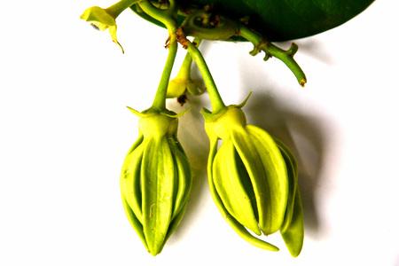 ylang - ylang  on  white  background
