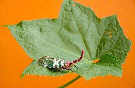 cigarra: Lanternflies
