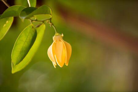Ylang-ylang Flower (Perfume Tree)