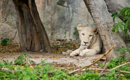 the fittest: Lion in Khao Khew Open zoo